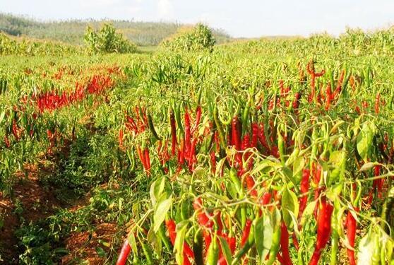金乡辣椒种植技术
